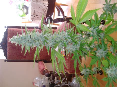 Royal Cheese Automatic (Royal Queen Seeds) :: Cannabis