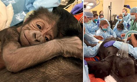 Gorilla gives birth with help from human ob/gyn doctors