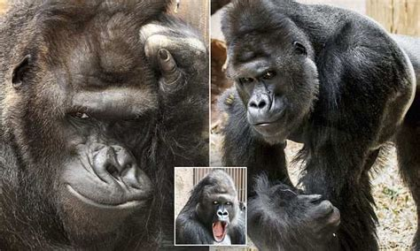 Richard the gorilla pulls off more modelling poses at