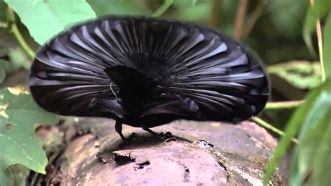 Planet Earth Birds of Paradise | Can I Have Your Number