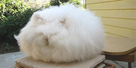 Underneath This Giant Ball Of Cotton Is A Rabbit (PHOTOS