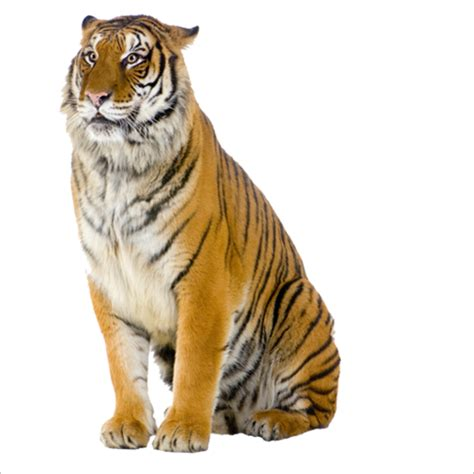 Tiger Pizza Steve Cat Stock photography - tiger png