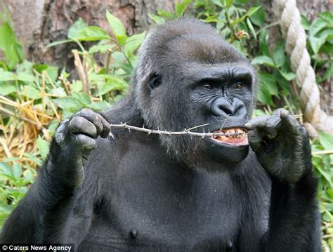 Gorilla uses a bramble branch to floss teeth in Bristol