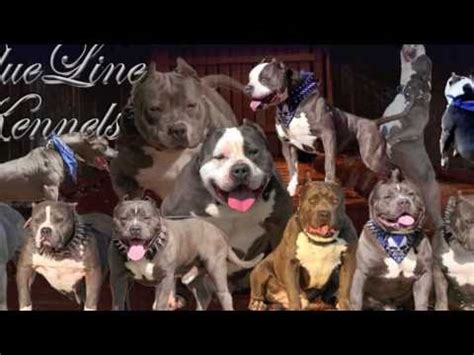 MAGA BREEDING GOING DOWN AT BLUE LINE KENNELS 2X'S JALISCO